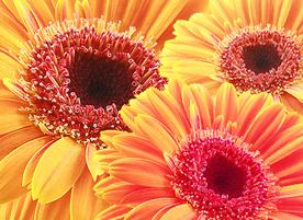Бутик за цветя и подаръци Сиел