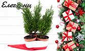 3 коледни дръвчета Лъжекипарис Елводи и декоративна коледна шапка