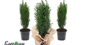 Коледно дръвче Лъжекипарис Елводи, плюс подаръчна декоративна опаковка