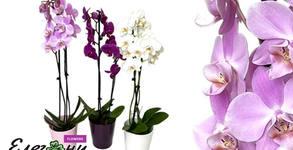 Elegantz Flowers 313.bg