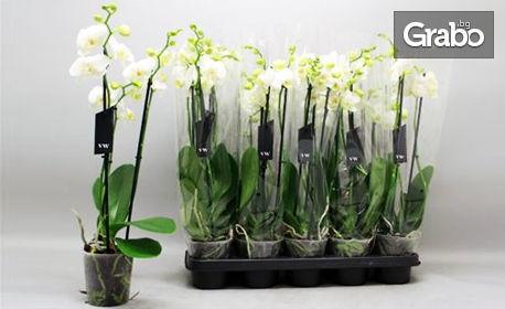 Бяла Орхидея в саксия, плюс безплатна доставка