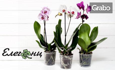 Две орхидеи в цвят по избор