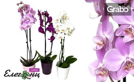 Орхидея в цвят по избор, плюс бонус - керамична кашпа