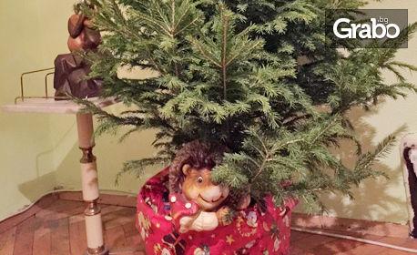 Жива коледна елха в саксия, с размер по избор
